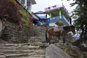 Campo Base Annapurna: animales en el camino