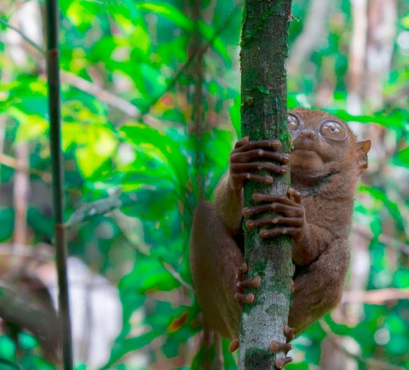 viajar a Filipinas tarsiers en bohol