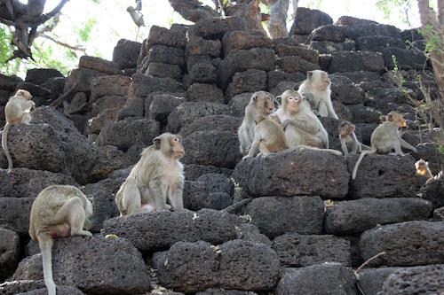 monos en lop buri