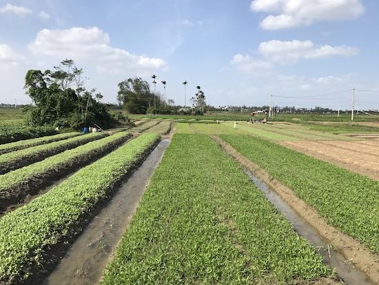 campos de arroz en hoi an