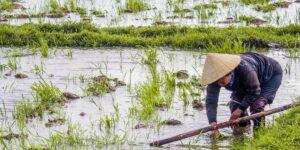 que ver en vietnam campos de arroz