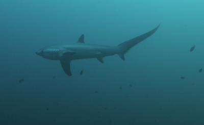 Buceo con el tiburón zorro en Malapascua