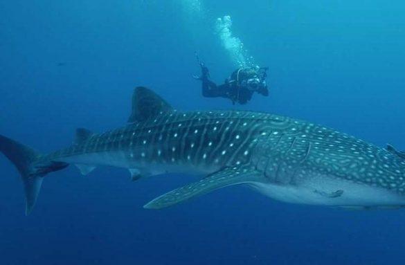 Tiburón ballena en Filipinas