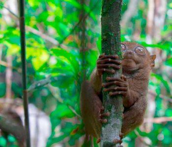 viajar-a-Filipinas-tarsier-1